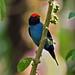 NE Brazil: Blue Manakin by spiderhunters