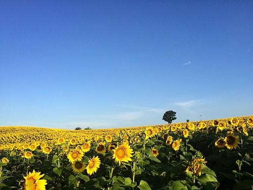 #sunflowers2016 #popefarmconservancy #scottalynch