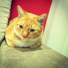 Emmm... bestnya melepak kt sini. This is my favourite spot. #Chomel #domesticshorthair #redtabby #catoftheday #catsworldwide #catsofinstagram #catsagram #malaysianCat