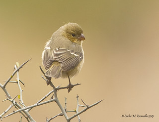 White-collared Seedeater IMG_3864edtsg2