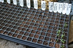 planting tray IMG_2099