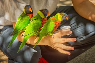 feeding three lorikeets