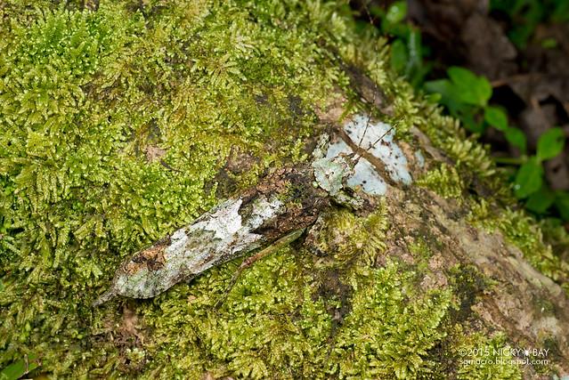 Moss katydid (Tettigoniidae) - DSC_5505