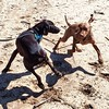 Hooch had a great weekend camping, and enjoyed playing with his Vizsla buddy, Dash, on the beach!