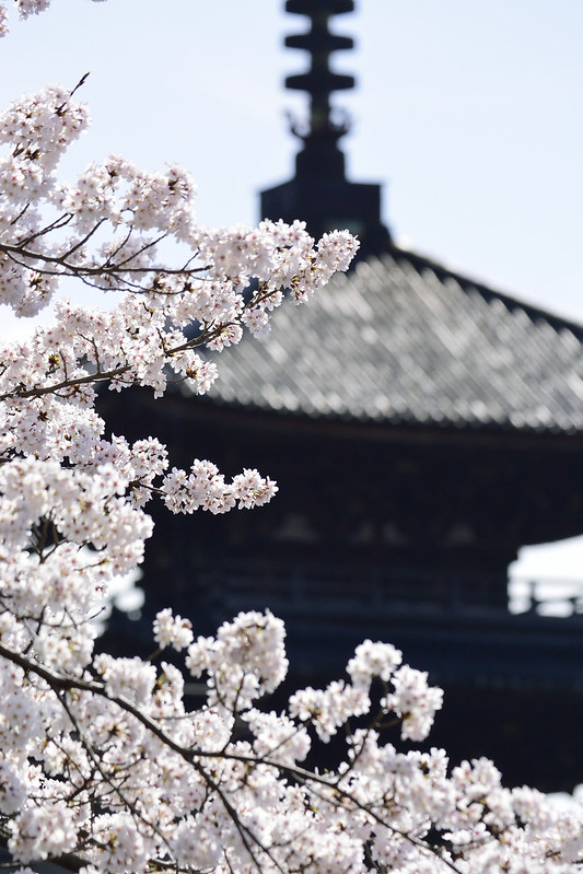 桜の京都 清水寺