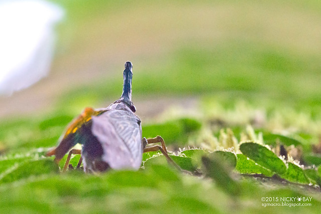 Lantern bug (Pyrops whiteheadi) - DSC_3933
