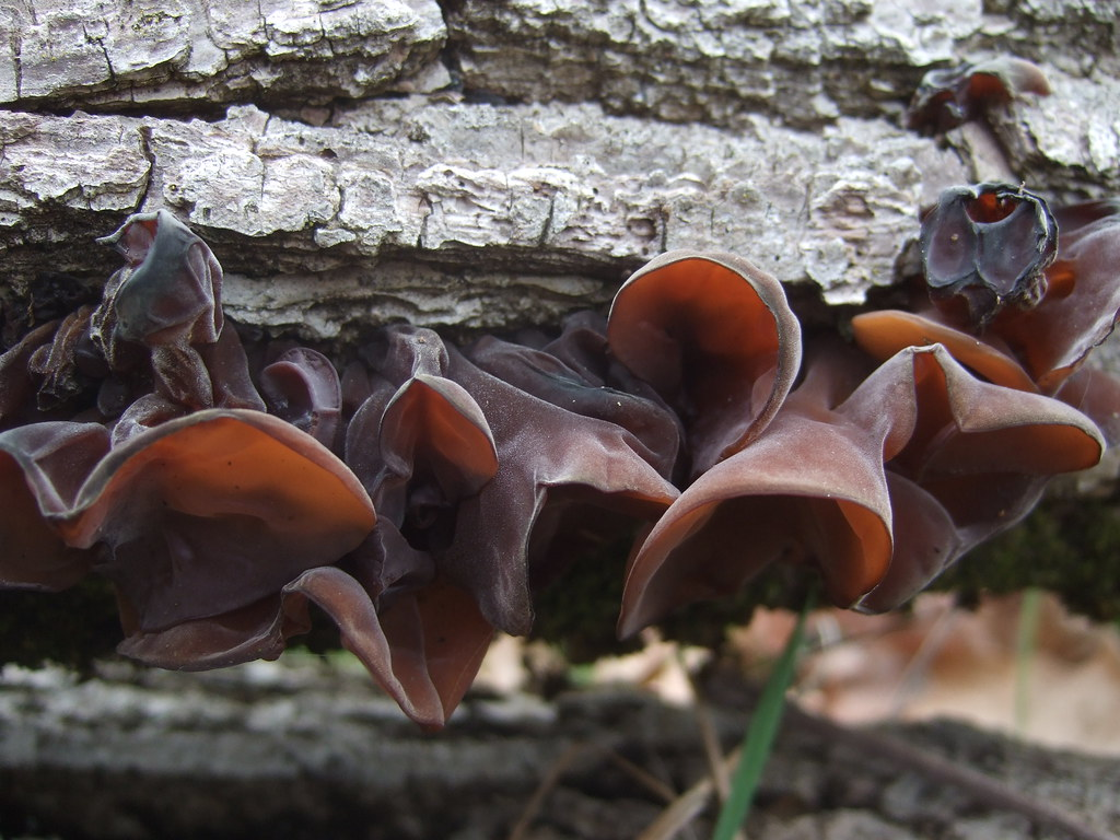 jelly ear mushrooms