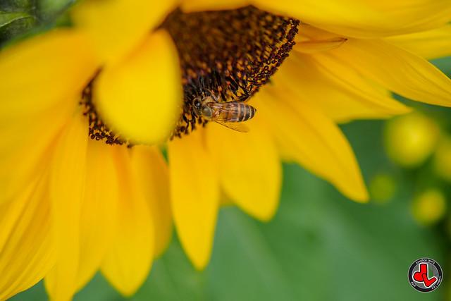 Photo:Bee & Sunflower By jonathan.leung