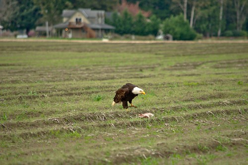 Bald Eagle Approaching His Rabbit Dinner