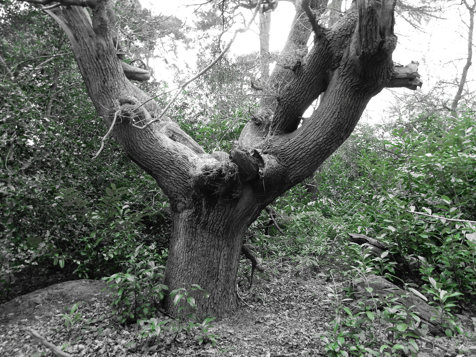 Big tree Gomshall to Guildford