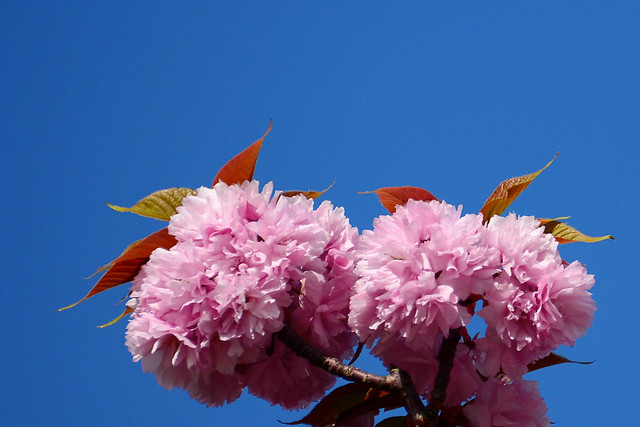 Photo:Double-Flowered Weeping Japanese Cherry (Kanzan) : カンザン(関山) By Dakiny
