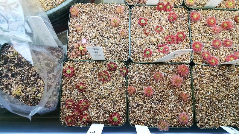 Drosera grievei, Drosera × Carbarup, Drosera roseana, Drosera pygmaea
