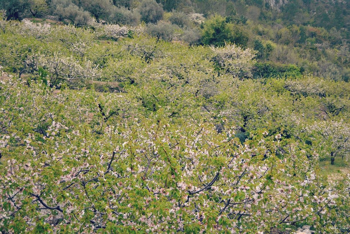 Valle de la Gallinera_Cerezos en Flor (5)