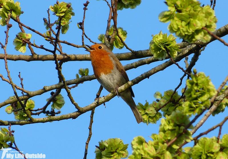 P1120492 - Spring Robin