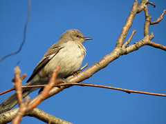 busy mockingbird