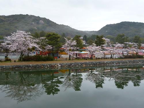 cherry blossom uji river