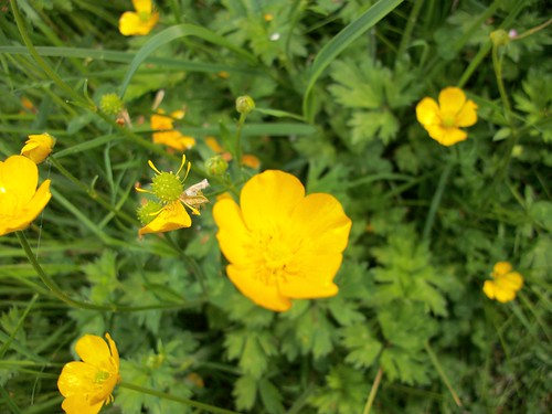 Pasture weed control time is now buttercup2 mightylinksfo