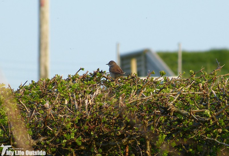 P1120477 - Whitethroat on local patch