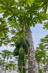 Harry_24075,木瓜,網室木瓜,木瓜園,水果,�…