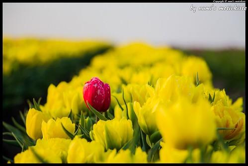 Gelbes Tulpenfeld, nur Lady in Red hat sich verirrt :-)