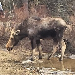 #Maine #moose he's a mangey one!