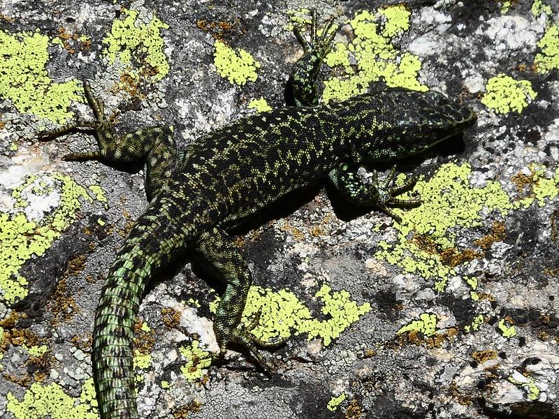 Peñalara. Alpino. Artrópodos, anfibios y reptiles 17716571036_84af234cf0_c