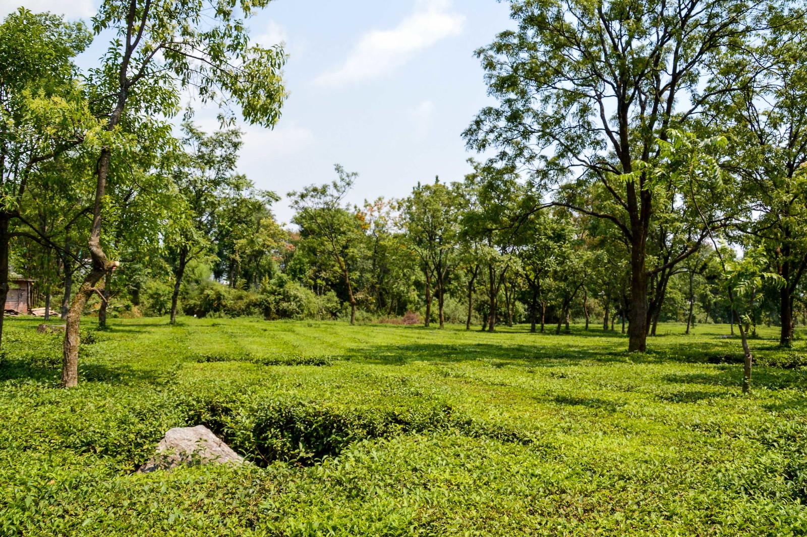 Tea Farms - Palampur HP