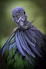 A Molting Nicobar Pigeon