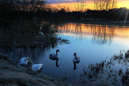 reflection sunrise river swan sonnenaufgang flod silkeborg spejling solopgang svane gudenå søhøjlandet guden resenbro