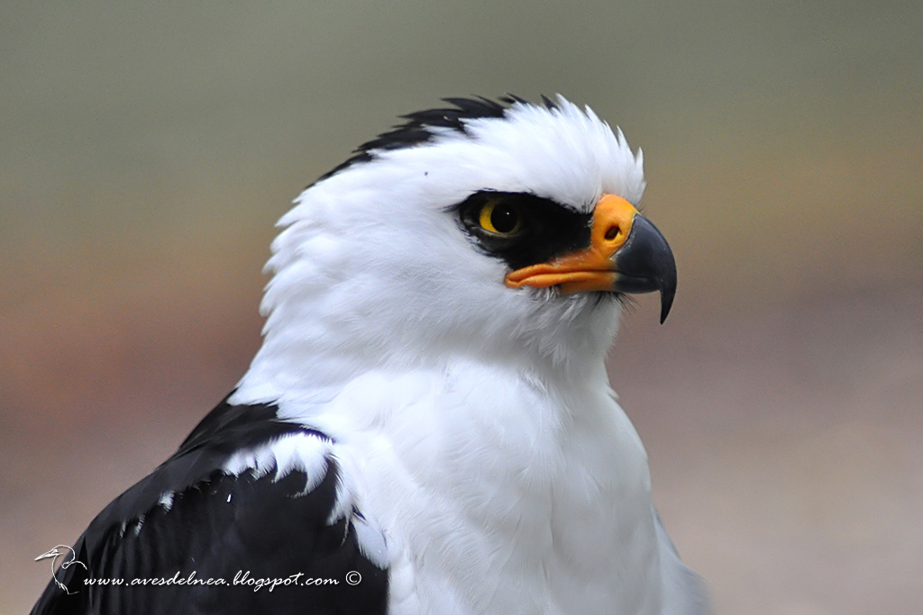 Águila viuda (Black-and-white Hawk-Eagle) Spizastur melanoleucus