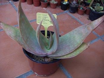 Aloe striata 16454443203_83c8c3e38d_o