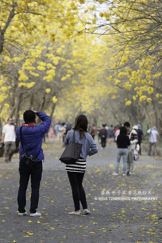 朴子溪溪南 黃花風鈴木