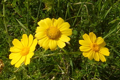 field(0.0), garden cosmos(0.0), marguerite daisy(0.0), chamaemelum nobile(0.0), sulfur cosmos(0.0), annual plant(1.0), prairie(1.0), flower(1.0), yellow(1.0), plant(1.0), nature(1.0), herb(1.0), wildflower(1.0), flora(1.0), oxeye daisy(1.0), petal(1.0),