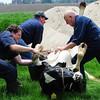 Ahora Dr. Pol sacándole peos y terneros a las vacas :muscle: WildHD VTR732