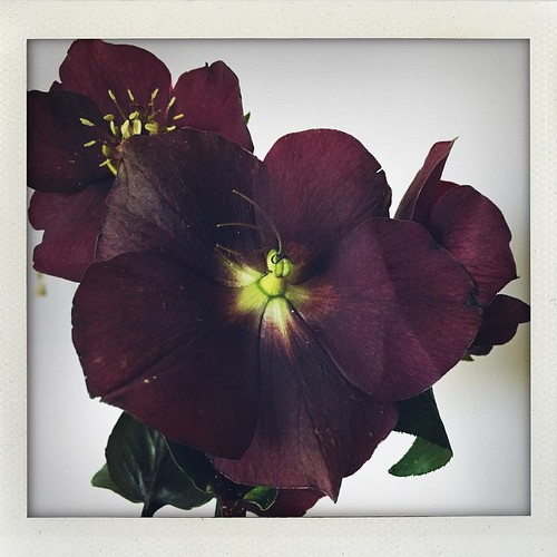 kitchen flowers 3/28/15: wax flower & hellebores