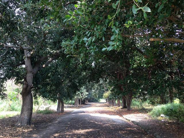 長勝營區還有芒果樹以及桃花心木形成的林道。