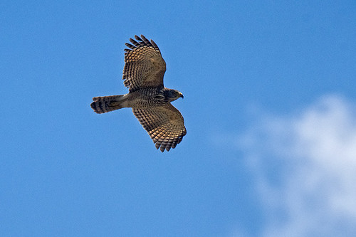Honduras: Roadside Hawk in Flight