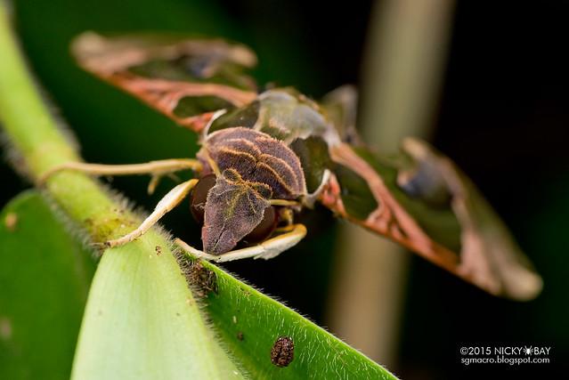 Green hawk moth (Daphnis sp.?) - DSC_3737