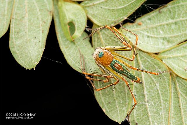 Lynx spider (Hamadruas) - DSC_4321