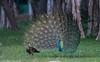 Peacock - Courtship display