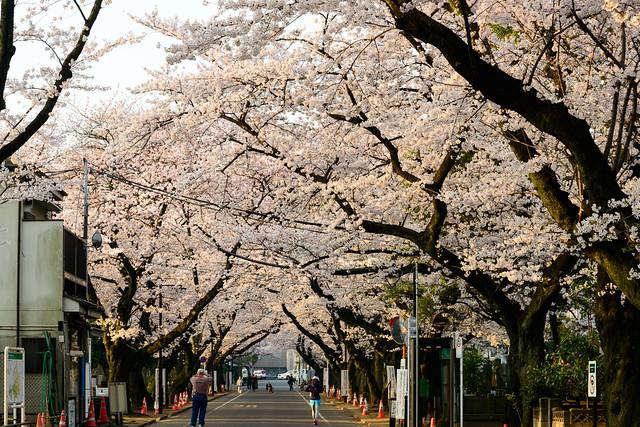 Morning Sakura - Life