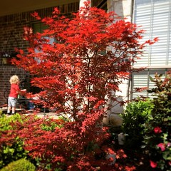 My Japanese Maple is starting to look good.