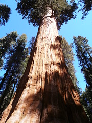 General Sherman Tree Trunk