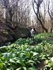 Wild garlic near bluebells suggests ancient woodland