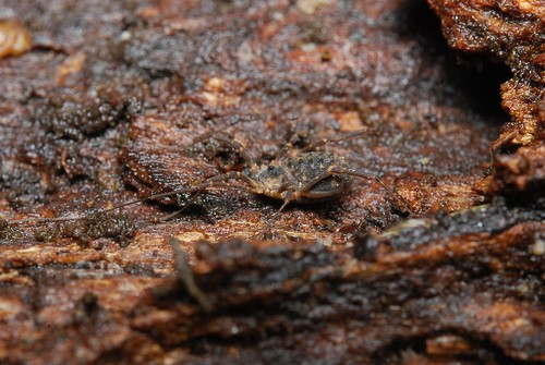 Astrobunus laevipes - harvestman