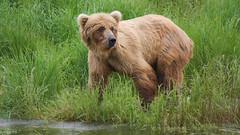 Młody niedźwiadek