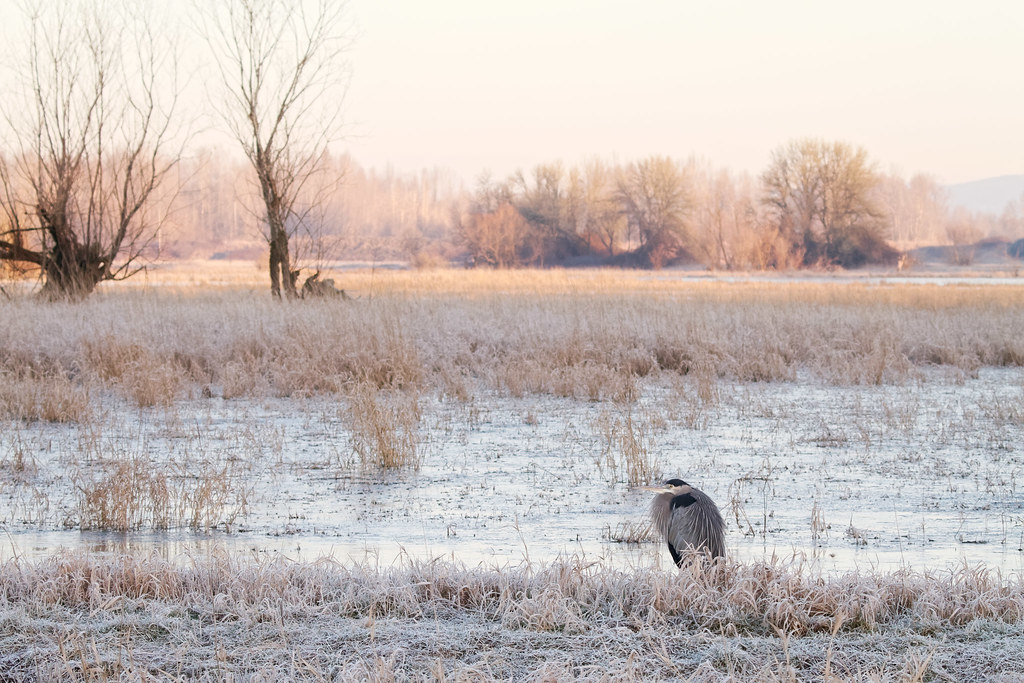 A great blue heron sits amongst frost and ice as the distant marsh is lit by the rising sun