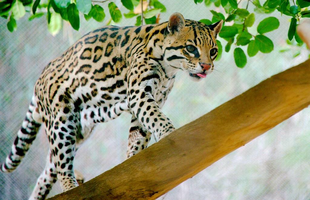Ocelot (Leopardus pardalis)_5
