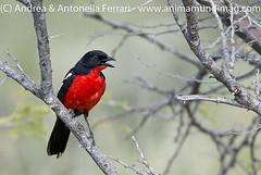 Crimson-breasted shrike Laniarius atrococcineus