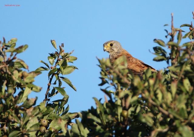 Gheppio maschio (Falco tinnunculus tinnunculus)